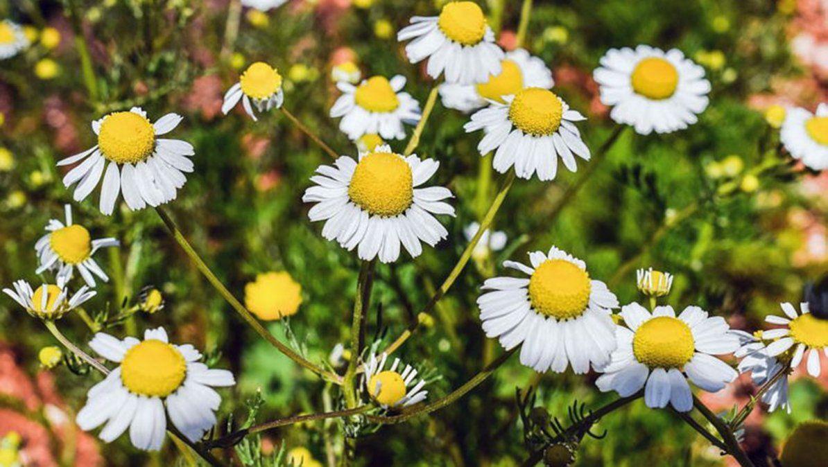 La Manzanilla es una de las plantas medicinales más recomendadas para nuestro huerto en casa